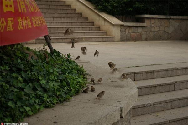 Những chú chim đa phần đều bị thương và không còn sức để bay.