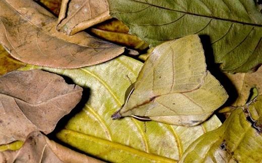 Bướm đêm có khả năng chuyển màurất độc đáo, chính những gân sọctrên nền xanh đã giúp chúng hoá thân thành những chiếc lá. Không chỉ thế, bướm đêm còn biết điều khiển tạo hình đôi cánh, đóng lại hay xoè ra sao cho phù hợpvới nơi mà nótrú ẩn.