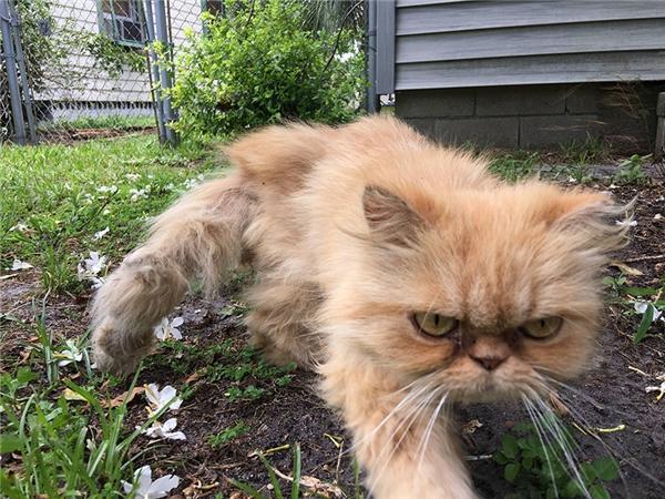 Chết cười chú mèo hoang mặt cau có được nhận nuôi, càng cau có hơn