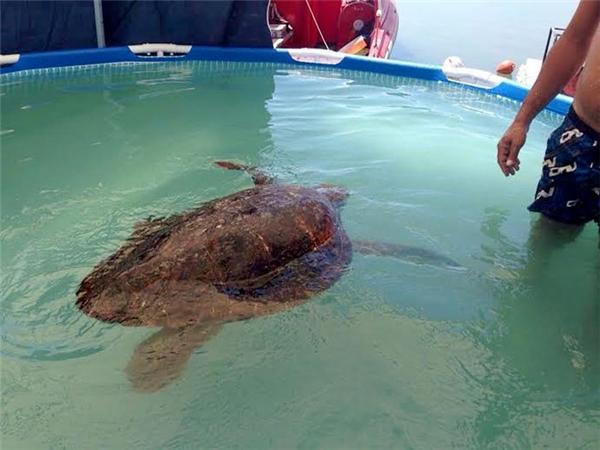 Chú rùa khốn khổ hiện vẫn đang trong quá trình hồi phục sức khỏe.