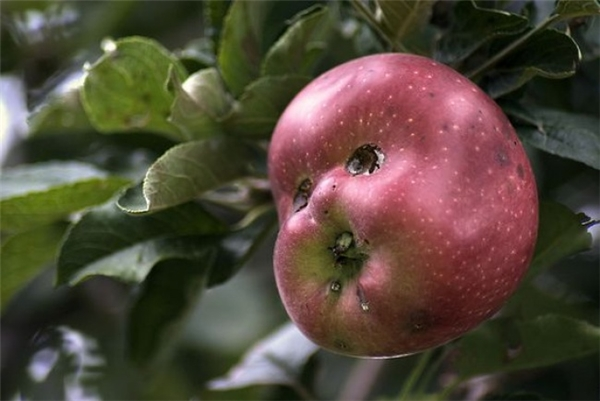 Ơ... táo đấy bạn, là một quả táo chính gốc, không giả vào đâu. (Ảnh:SureshKanthan)