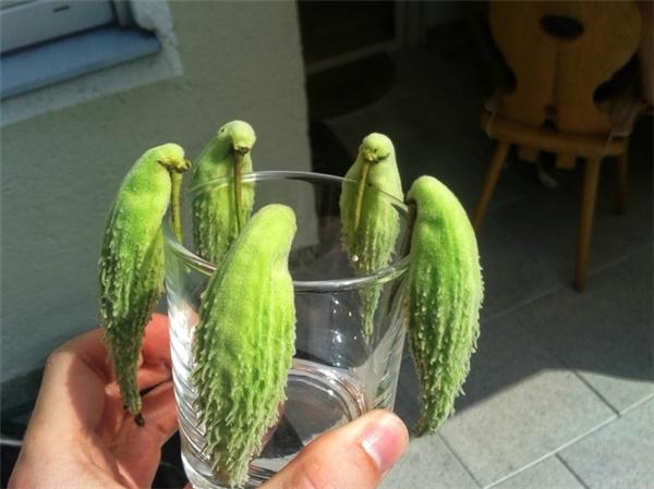 Cái tấm ảnh này đã làm khó rất rất nhiều người nè. Nhìn cho kĩ vào, bạn thấy có gì đặc biệt? Đây là một loại cây thuộc giống bông tai (milkweed) chứ không phải con vẹt đâu nhé. (Ảnh: Reddit)