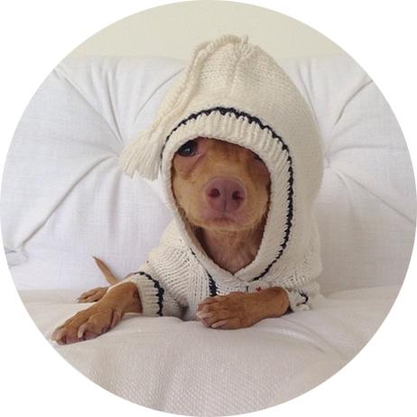 Tuna là một chú chó 5 tuổi,thuộc giống Chiweenie. (Ảnh: Instagram)