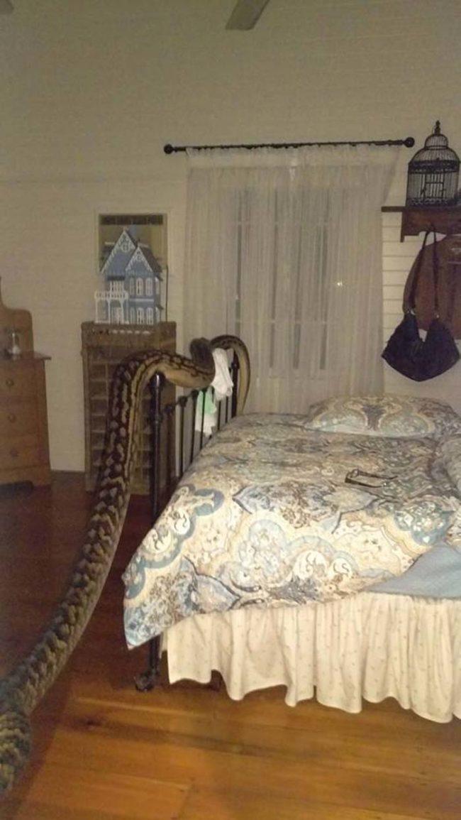 Cảnh tượng kinh hoàng khi vừa mở mắt, Trina đã thấy một con trăn khổng lồ đang chậm rãi trườn ngang giường. (Ảnh FBNV)
