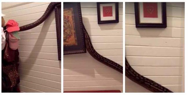 """Những phân cảnh được cắt từ đoạn clip cho thấy ven đường đi, chú trăn còn """"lượn"""" đến những bức tranh treo tường và giá để nón. (Ảnh: cắt từ clip)"""