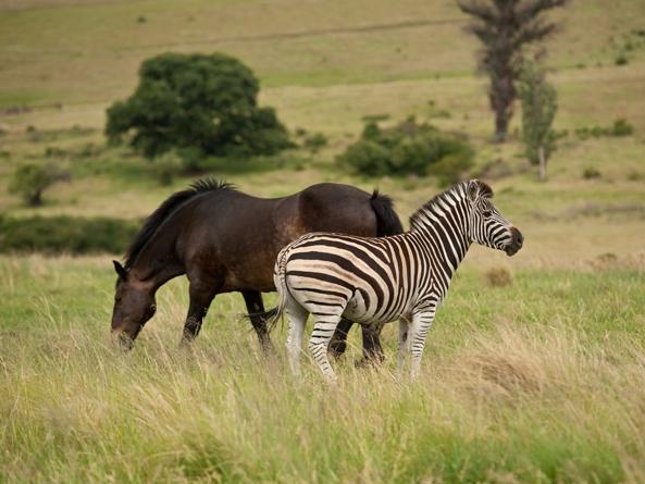 Vì sao chúng ta không thể cưỡi ngựa vằn giống như ngựa?