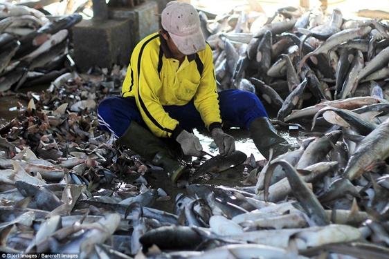 Ngoài vây, cá mập còn được tận dụng để chế biến dầu gan, để lấy da và thịt.