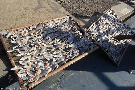 Chính vì lợi nhuận khủng khiếp của nó mà mỗi năm ở Indonesia có ít nhất 846 tấn vây cá mập phơi khô xuất khẩu.