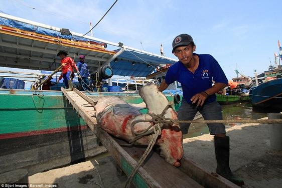 Bất chấp lệnh cấm của chính quyền Indonesia, việc đánh bắt cá mập vẫn ngang nhiên diễn ra khắp đất nước và hầu như không thể kiểm soát.