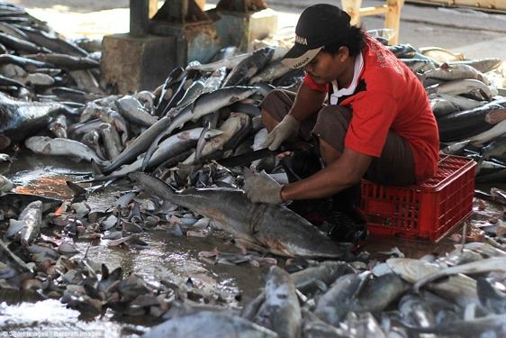 Theo một cuộc nghiên cứu của tổ chức bảo vệ môi trường WildAid ở San Francisco, California, có đến 14 chủng loại cá mập khác nhau bị đánh bắt để lấy vây, và tất cả đều sụt giảm về số lượng trong tự nhiên từ 40 đến 99%.