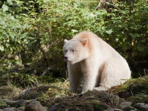 Gấu thần linh hay còn gọi là gấu Kermode có tên khoa học là Ursus americanus kermodei là một phân loài đặc biệt của gấu đen Bắc Mỹ, có thể gọi là phân loài đột biến của gấu đen bởi mặc dù thuộc họ gấu đen nhưng gấu thần linh lại sở hữu bộ lông màu trắng và màu kem rất nổi bật.
