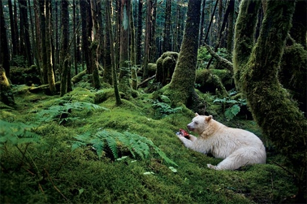 Theo các nhà khoa học, gấu thần linh Kermode ra đời do sự giao phối diễn ra giữa hai con gấu đen cùng mang genlặn, chính là gen quy định tính trạng cho ra lông trắng.