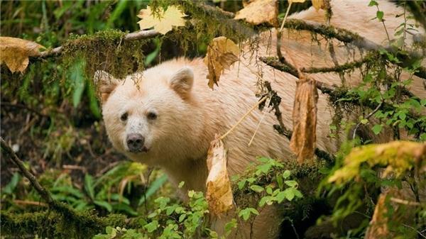 Trước đây nhiều người nghĩ rằng gấu thần linh Kermode là những con gấu bạch tạng nhưng hoàn toàn không phải, mắt và mũi của gấu thần linh vẫn là màu đen, không phải màu hồng như những động vật bạch tạng khác.