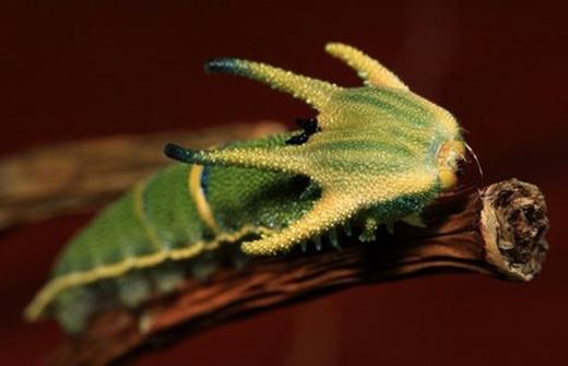 Sâu bướm bay. (Ảnh: Internet)