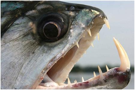 Cá ma cà rồng có thể nuốt được một khối lượng cá lớn.