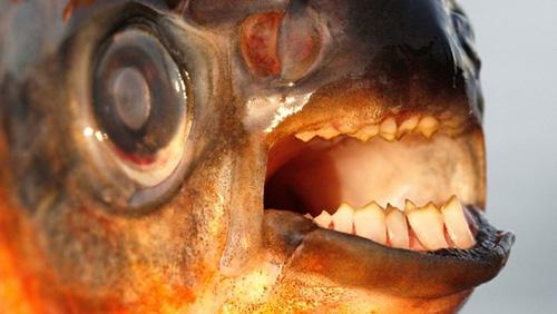 Ngoại hình hiền lành, chúng là loài cá ăn tạp với bộ răng giống người.