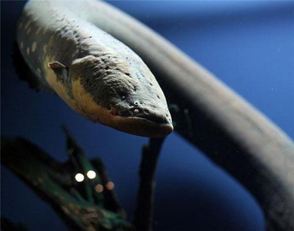 Lươn điện tấn công làm cho người ta bị choáng và chết đuối.