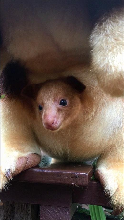Trong vài tháng tới, Mian sẽ chui hẳn ra khỏi túi và bắt đầu nhảy nhót, leo trèo khắp nơi, cũng như chơi đùa với những con chuột túi khác. (Ảnh: Internet)