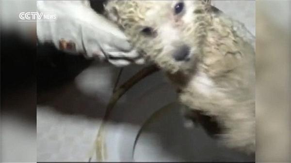 Thậm chí khi một phần thân đã ra khỏi toilet rồi, chú chó càng gào to hơn vì đau đớn và sợ hãi.