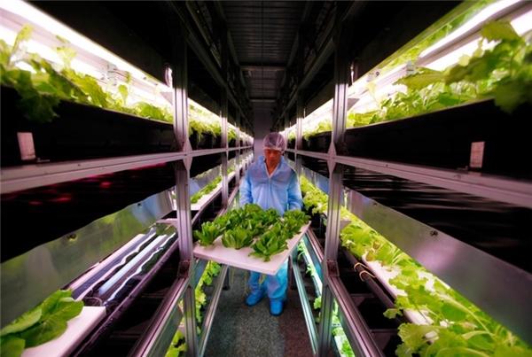Tờ Business Insider công bố một số hình ảnh về ngành công nghiệp sản xuất thực phẩm ở Trung Quốc phục vụ nhu cầu ăn uống hàng ngày của người dân. Ảnh: Vườn nhà kính điều khiển bằng máy tính đầu tiên của Trung Quốc nằm ở ngoại ô Bắc Kinh bắt đầu hoạt động vào năm 2010, với ánh sáng nhân tạo được sử dụng để trồng rau diếp.