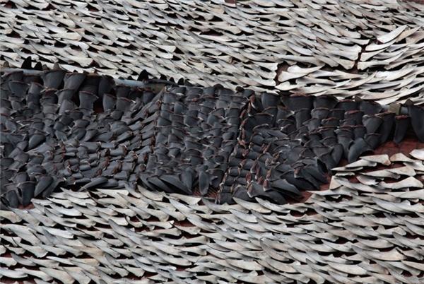 Vây cá mập là loại thực phẩm dành cho những người sành ăn ở Trung Quốc. Trong ảnh là hơn 10.000 chiếc vây cá mập được phơi khô trên tầng thượng của một tòa nhà ở Hong Kong.