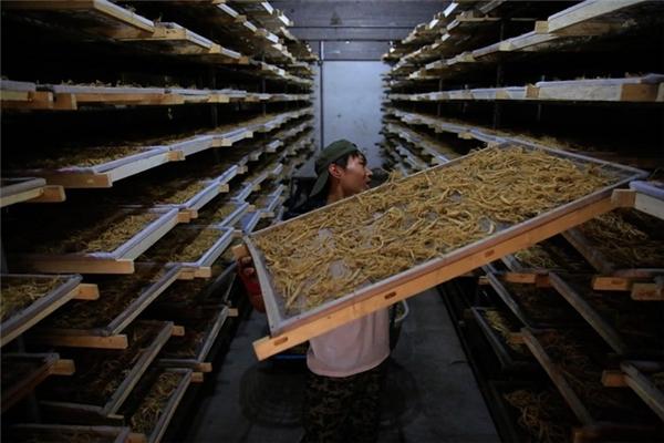 Ở đây, nhân sâm được sấy khô - một trong nhiều công đoạn chế biến ra sản phẩm cuối cùng.