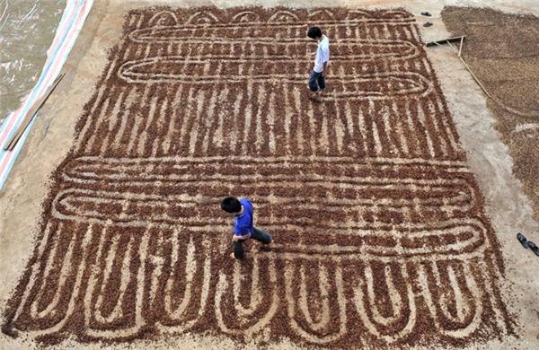 Những công nhân đang dùng chân để trải hạt cà phê ra phơi khô trong một cơ sở trồng cà phê ở quận Chengmai.