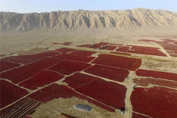 Dầu ớt là loại gia vị thường có trong nhiều món ăn khác nhau của Trung Quốc. Hình ảnh này cho thấy ớt đỏ được trải ra phơi khô dưới nắng trước khi đem ép dầu.