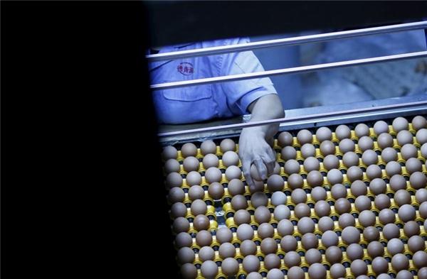 Ước tính có khoảng gần một tỷ con gà mái đẻ trứng phục vụ nhu cầu tiêu dùng ở Trung Quốc.