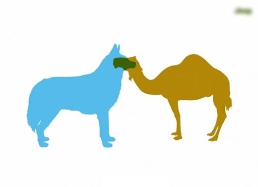 Lạc đà có bứu kết hợp với lạc đà không bứu ra ... xe hơi!