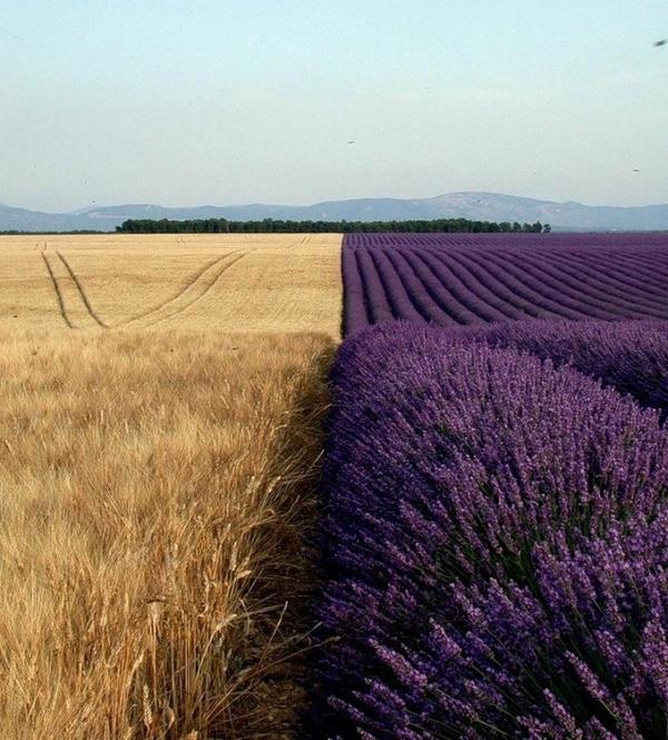Lúa mì vàng ươm bên cạnh là oải hương tím đượm,tuy rằng khác giống nhưng chung một đồng.(Ảnh Internet)