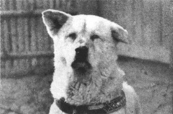 Đây là hình ảnh về chú chó Hachiko nổi tiếng ở Nhật Bản. Chú chó này được giáo sư Hidesaburo Ueno nhận nuôi, mỗi buổi sáng nó đều đến ga Shibuya để tiễn ông đi làm và chờ đón ông về. Một ngày, vị giáo sư đột ngộtbị xuất huyết não qua đời. Thế là chẳng bao giờ về nữa, vậy mà Hachiko mỗi ngày đều đến ga đợi để đón ông, liên tục như vậy trong suốt 9 năm 9 tháng và 15 ngày sau đó, bất kể mưa gió hay tuyết rơi. Hachiko qua đời vào ngày 8/3/1935.
