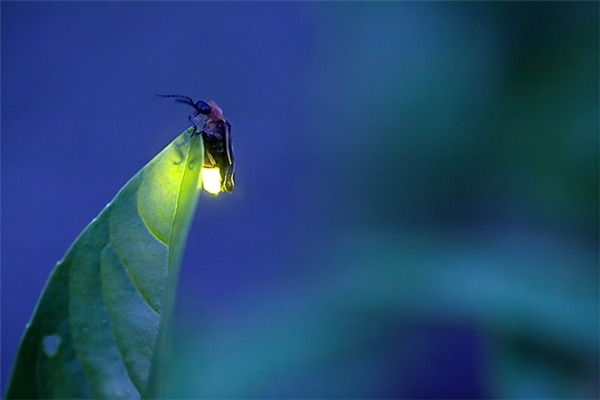 Mỗi loài đom đóm đều có một kiểu phát sáng riêng để giúp con đực và con cái nhận ra nhau.