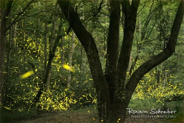 Đó chính là mùa sinh sản của chúng, khiến cả khu rừng hay cánh đồng nhấp nháy lập lòe trong ánh sáng vàng cam rực rỡ giống như cảnh thần tiên.