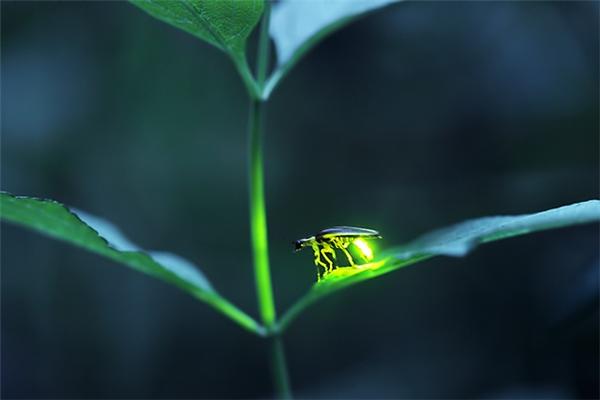 Mỗi lần chớp sáng, đom đóm sẽ bẻ cong bụng xuống phía dưới một góc gần 90 độ, chỏm đuôi gần chạm vào lá cây.