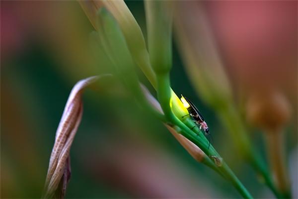 Có rất nhiều loài đom đóm chung sống hạnh phúc với nhau, và ánh sáng của mỗi loài có một màu sắc khác nhau, có loài màu vàng, có loài màu cam, có loài màu vàng xanh lá cây, có loài màu xanh dương.