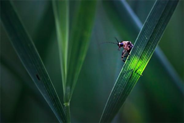 Cũng có loài đom đóm hoạt động vào ban ngày, nhưng chúng sẽ nấp trong các bụi rậm hoặc mảng tối để phát sáng.