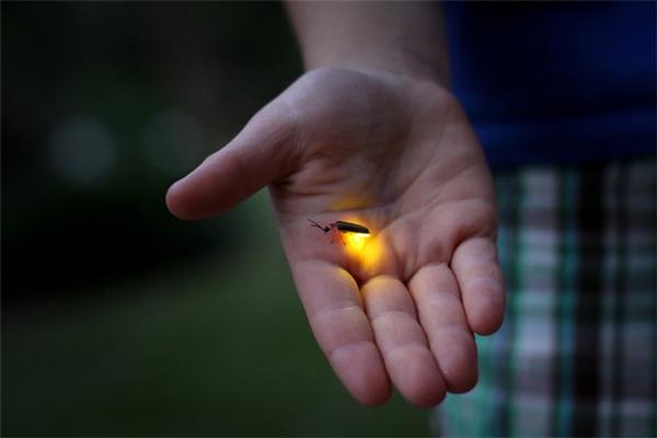 Ánh sáng của đom đóm không hề phát ra nhiệt nên sờ vào không bị bỏng tay.