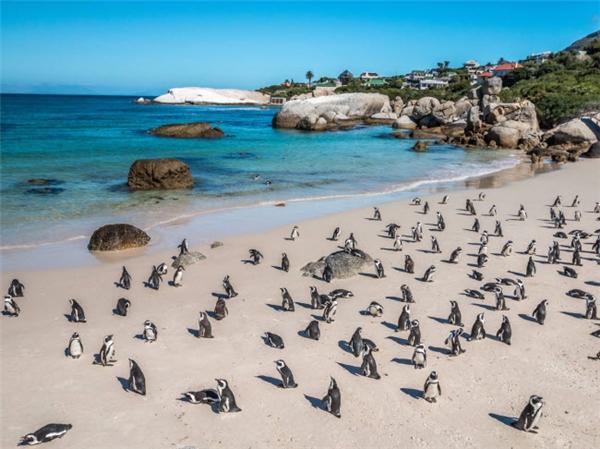 Bãi biển Boulders nằm ở thành phố Cape Town - Nam Phi. Điểm thu hút du khách của bãi biển này là khi đến đây, bạn sẽ được vây quanh bởi hàng trăm chú chim cánh cụt hoang dã, điều đặc biệt mà những nơi khác không có. (Ảnh Internet)