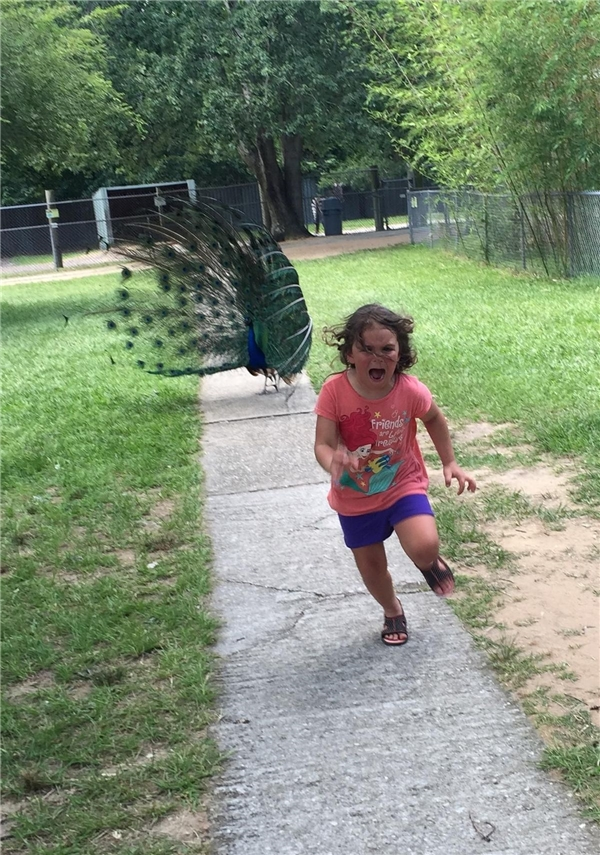 Và đây là bức ảnh gốc khi,cô nhóc này bị chú chim công đuổi trong vườn thú.(Ảnh: Internet)