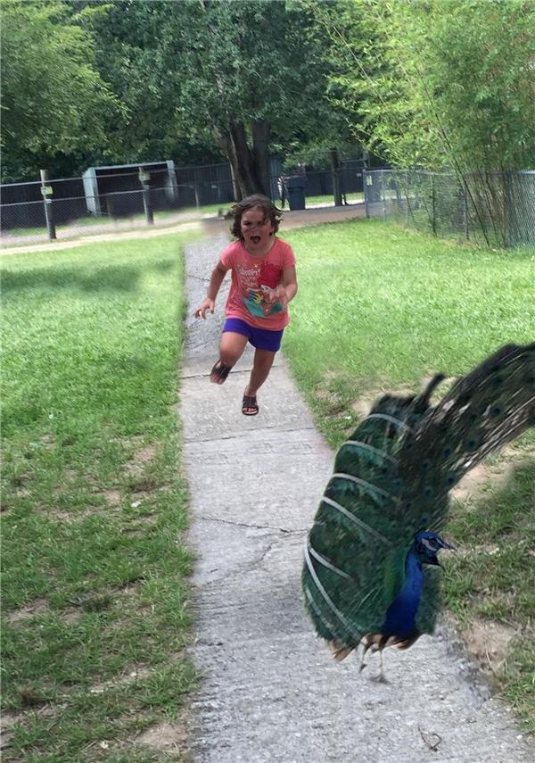 """Khi được hoán đổi vị trí với chú chim công thì cô bé cũng """"diễn xuất thần"""".(Ảnh: Internet)"""