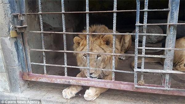 Chú sư tử khốn khổ chỉ còn da bọc xương, không còn đâu bóng dáng chúa tể muôn loài oai hùng ngày nào.