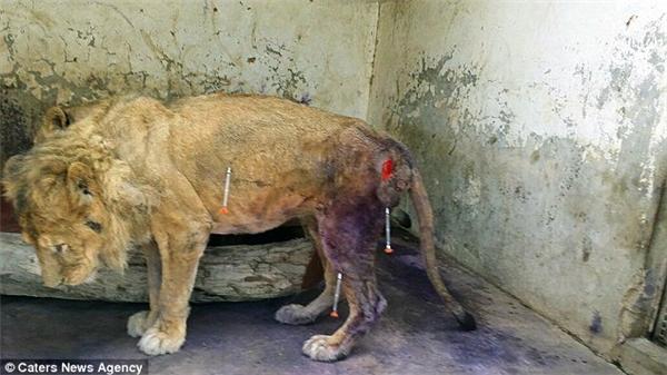 Chiếc lồng nhỏ chật hẹp giờ đây đầy những máu và chất thải của con sư tử đói khát bị bỏ rơi, một môi trường sống khủng khiếp.