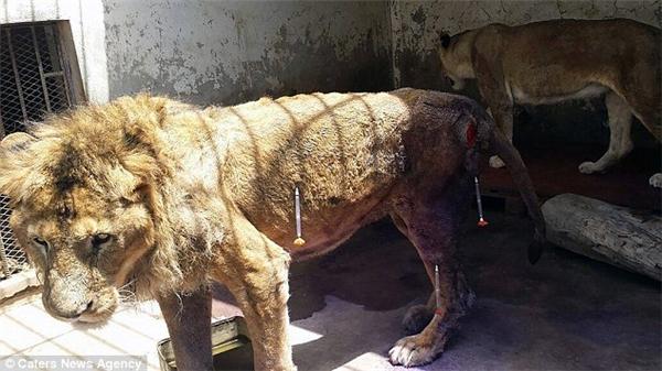 Tội nghiệp chú sư tử mình đầy máu me bị bỏ đói trong lồng sắt