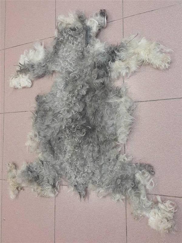 cạo lông cho chó