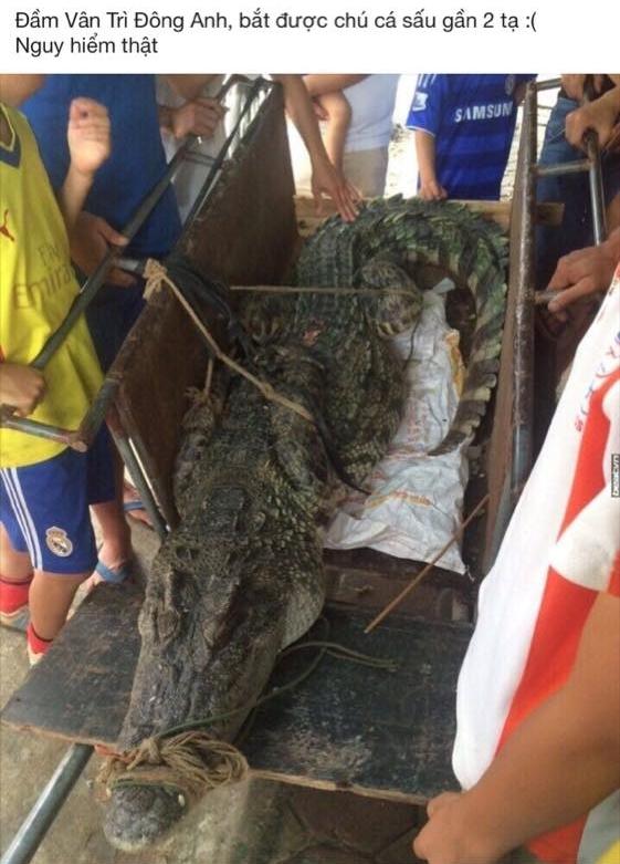 """Con cá sấu """"khổng lồ"""" bắt được tại hồ Vân Trì - Hà Nội.(Ảnh: Internet)"""