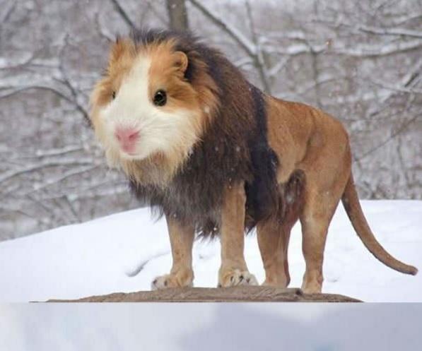 Những chú chuột lang khù khờ giờ đây đã không còn phải sợ ai nữa sau khi có được thân hình sư tử.