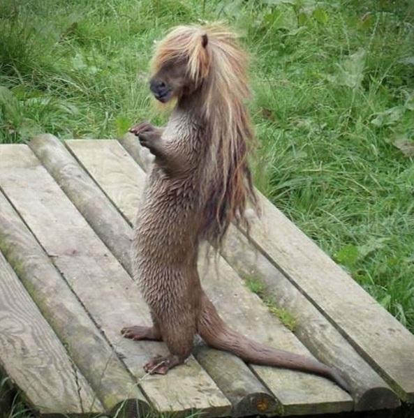 Rái cá thân dài đuôi dài nên cũng cần một mái... bờm ngựa dài lộng lẫy đi kèm.
