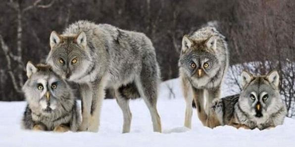 Nhờ sinh vật mới lai tạo này mới nhận ra đôi mắt cú vọ và sói trông không khác nhau mấy nhỉ.