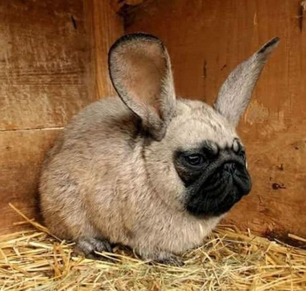 Bé chó pug này có vẻ không vui lắm khi phải mang thân hình thỏ ú này.
